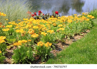 Gaillardia in a park