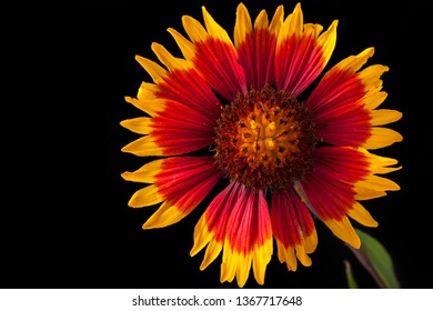 Gaillardia pulchella flower (firewheel, Indian blanket, Indian blanketflower, or sundance) isolated on black, side view