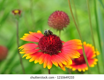 Gaillardia, Gaillardia pulchella is a genus of annual and perennial plants of the Asteraceae family. Drought-resistant annuals and perennials, a genus of plants of the family Asteraceae from North and