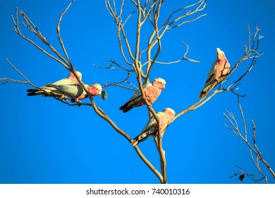 Galah ( Cacatua roseicapillus )