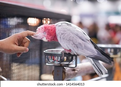Galah Cockatoo. A beautiful Galah Cockatoo is playing with its owner hand, scratching on its head.