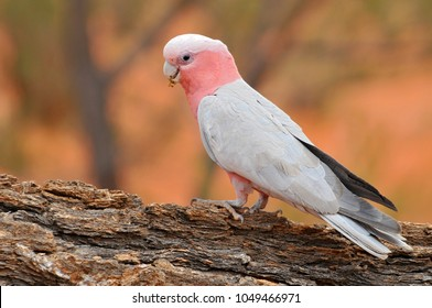 The galah (Eolophus roseicapilla), also known as the rose-breasted cockatoo, galah cockatoo, roseate cockatoo or pink and grey, is one of the most common and widespread cockatoos in Australia.
