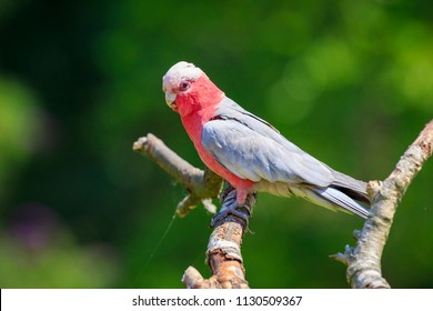 The galah (Eolophus roseicapilla), also known as the rose-breasted cockatoo, galah cockatoo, pink and grey cockatoo or roseate cockatoo, common and widespread cockatoos, mainland Australia.