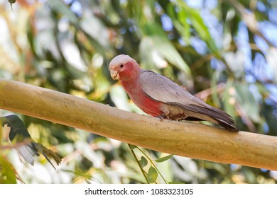Galah pink gray bird with bare eye rings, male Rose-breasted Cockatoo (Cockie) perching on branch of Gum tree with blurred forest background in Western Australia