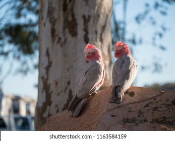 Galah rose-breasted cockatoo, galah cockatoo, pink and grey cockatoo or roseate cockatoo