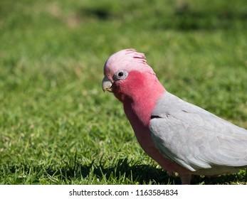 Galah rose-breasted cockatoo, galah cockatoo, pink and grey cockatoo or roseate cockatoo