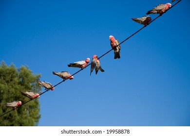 Galahs on a wire