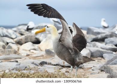 Galapagos Animals. Galapagos Albatross aka Waved albatrosses on Espanola Island, Galapagos Islands, Ecuador. The Waved Albatross is an critically endangered species endemic to Galapagos.