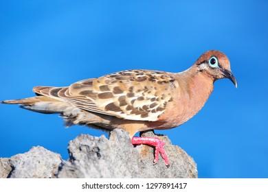 Galapagos dove (Zenaida galapagoensis) on Espanola Island, Galapagos National park, Ecuador. It is endemic to the Galapagos.