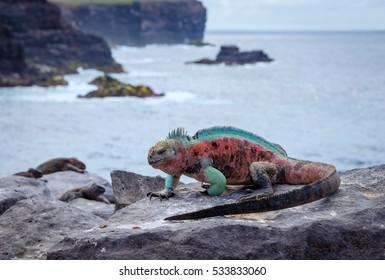 Galapagos Espanola Island Punta Suarez Marine Iguana