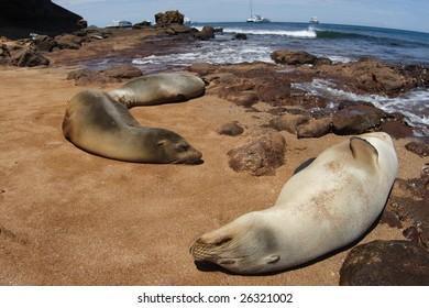 Galapagos fur seals breeding colony