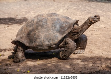 Galapagos Giant Tortoise, Tortoise Breeding Center, Isabela, Galapagos Islands, Ecuador, South America