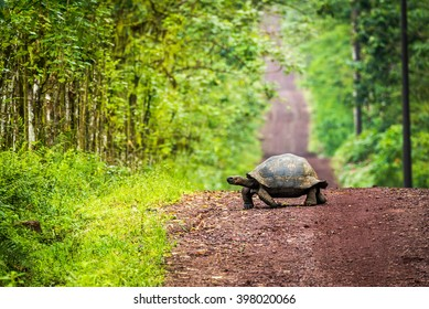 Galapagos giant tortoise crossing straight dirt road