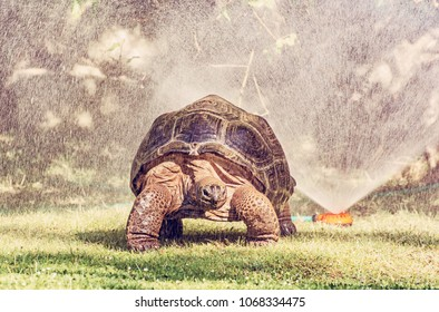 Galapagos giant tortoise and garden water sprayer. Largest living species of turtle. Animal scene. Red photo filter.