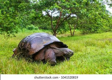 Galapagos giant tortoise (Geochelone elephantopus) on Santa Cruz Island in Galapagos National Park, Ecuador. It is the largest living species of tortoise