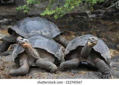 Galapagos Giant Tortoise, Galapagos Islands, Ecuador