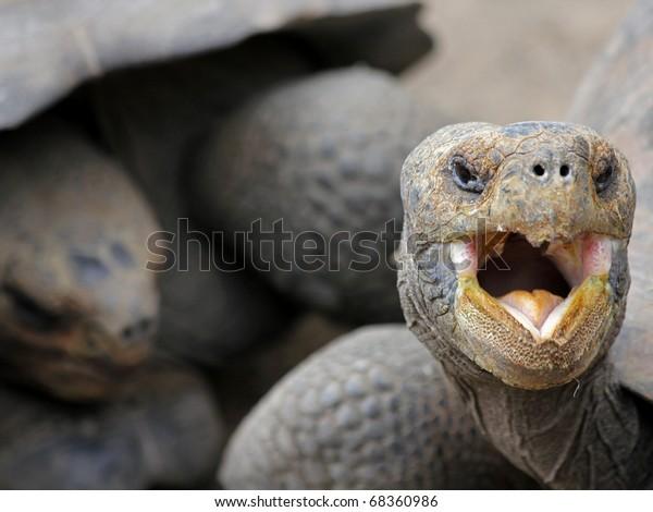 Galapagos Giant Tortoises (Geochelone nigra) in the Galapagos Islands (Isabela Island)