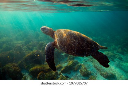 Galapagos green sea turtle (Chelonia mydas) swimming underwater