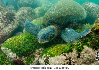 Galapagos Green Sea Turtle (Chelonia mydas agassizi) underwater, Galapagos Islands, Ecuador, Endemic Subspecies