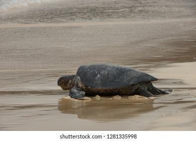 Galapagos Green Sea Turtle (Chelonia mydas agassizi) Nesting Female. Floreana Island, Galapagos Islands, Ecuador, Endemic Subspecies