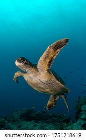Galapagos green sea turtle, Chelonia mydas
