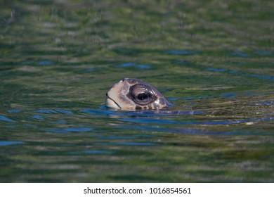 Galapagos green turtle (Chelonia agassizii ) surfacing the water, Elizabeth Bay, Isabela, Galapagos Islands, Ecuador