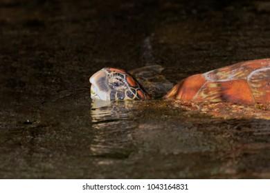 Galapagos Green Turtle (Chelonia agassizii), Elizabeth Bay, Isabela, Galapagos Islands, Ecuador