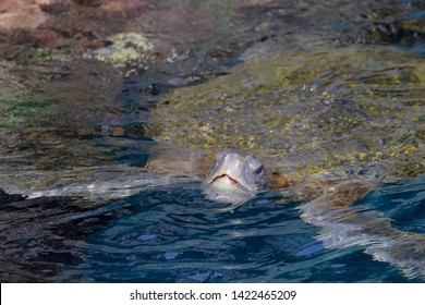 Galapagos green turtle (Chelonia mydas agassizii) at Puerto Egas on Santiago, Galapagos Islands