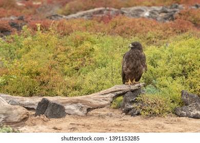 Galapagos Hawk (Buteo galapagoensis) - On Log