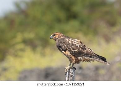 Galapagos Hawk (Buteo galapagoensis) - On Post
