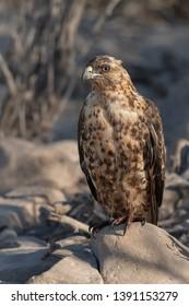 Galapagos Hawk (Buteo galapagoensis) - Perched on Rock