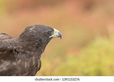 Galapagos Hawk (Buteo galapagoensis) - Portrait