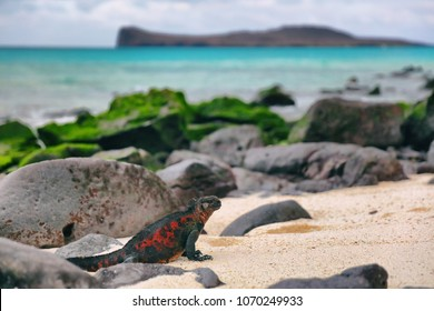 Galapagos Islands Christmas Iguana on in beautiful nature landscape on Espanola Island. Male Marine Iguana. Amazing animals wildlife and nature on Galapagos islands, Ecuador, South America.