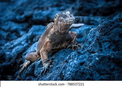 The Galapagos Islands. Ecuador. Marine Iguana on the Pacific Ocean beach. The beach of the Galapagos Islands. Pacific Ocean.