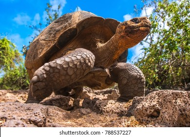 The Galapagos Islands. Ecuador. Galapagos tortoise in motion. Island of Santa Cruz. The old turtles that saw Charles Darwin in the Galapagos Islands.