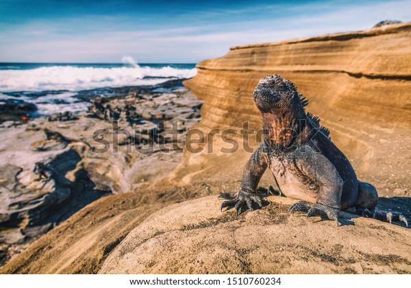 Islas Galápagos Iguana Marina - Iguanas calentándose al sol en rocas volcánicas en Puerto Egas (Puerto Egas) Isla Santiago, Ecuador. Animales de vida silvestre increíbles en las Islas Galápagos, Ecuador.