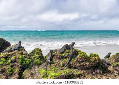 Galapagos islands wildlife endemic animals of Isabela island in Puerto Villamil. Marine iguanas relaxing on seaweed volcanic rocks on beachof Islas Galapagos. Travel scenery.