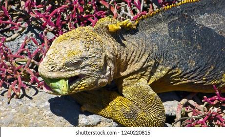 Galapagos land iguana with cactus