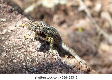 Galapagos Lizard