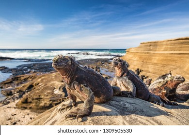 Galapagos Marine Iguana - Iguanas warming in the sun on volcanic rocks on Puerto Egas (Egas port) Santiago island, Ecuador. Amazing wildlife animals on Galapagos Islands, Ecuador.