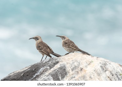 Galapagos Mockingbird (Mimus parvulus) - Waiting for Food