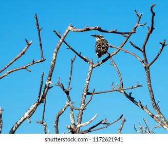 Galapagos Mockingbird perched in tangle of branches in tree on Floreana Island in Galapagos Islands, Ecuador