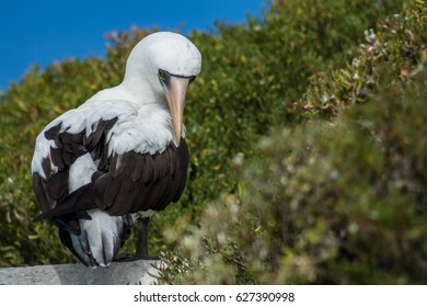 Galapagos Nazca booby sitting on a rock with a green background