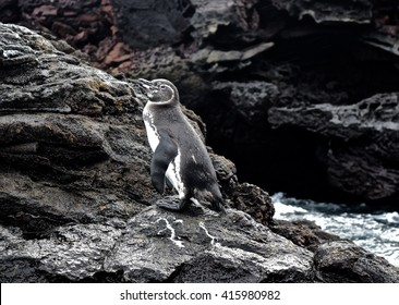 Galapagos penguin relaxing on the lava island