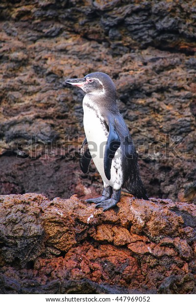 Galapagos Penguin (Spheniscus mendiculus) standing on rocks, Bartolome island, Galapagos National Park, Ecuador. It is the only penguin that lives north of the equator in the wild.