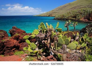 Galapagos prickly pear on Rabida Island in Galapagos National Park, Ecuador. It is endemic to the Galapagos Islands.