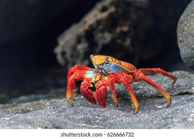 Galapagos red crab on black volcanic rocks