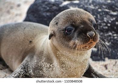A Galapagos sea lion pup, on Isla Floreana, Galapagos Islands.