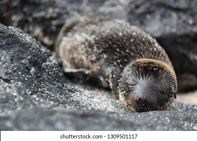 Galapagos Sea Lion pup playful playing in sand lying on beach on Galapagos Islands. Animals and wildlife nature on Mann beach San Cristobal Island, Galapagos, Ecuador, South America. Cute animals.