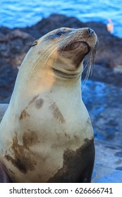 Galapagos sea lion standing with the ocean as background